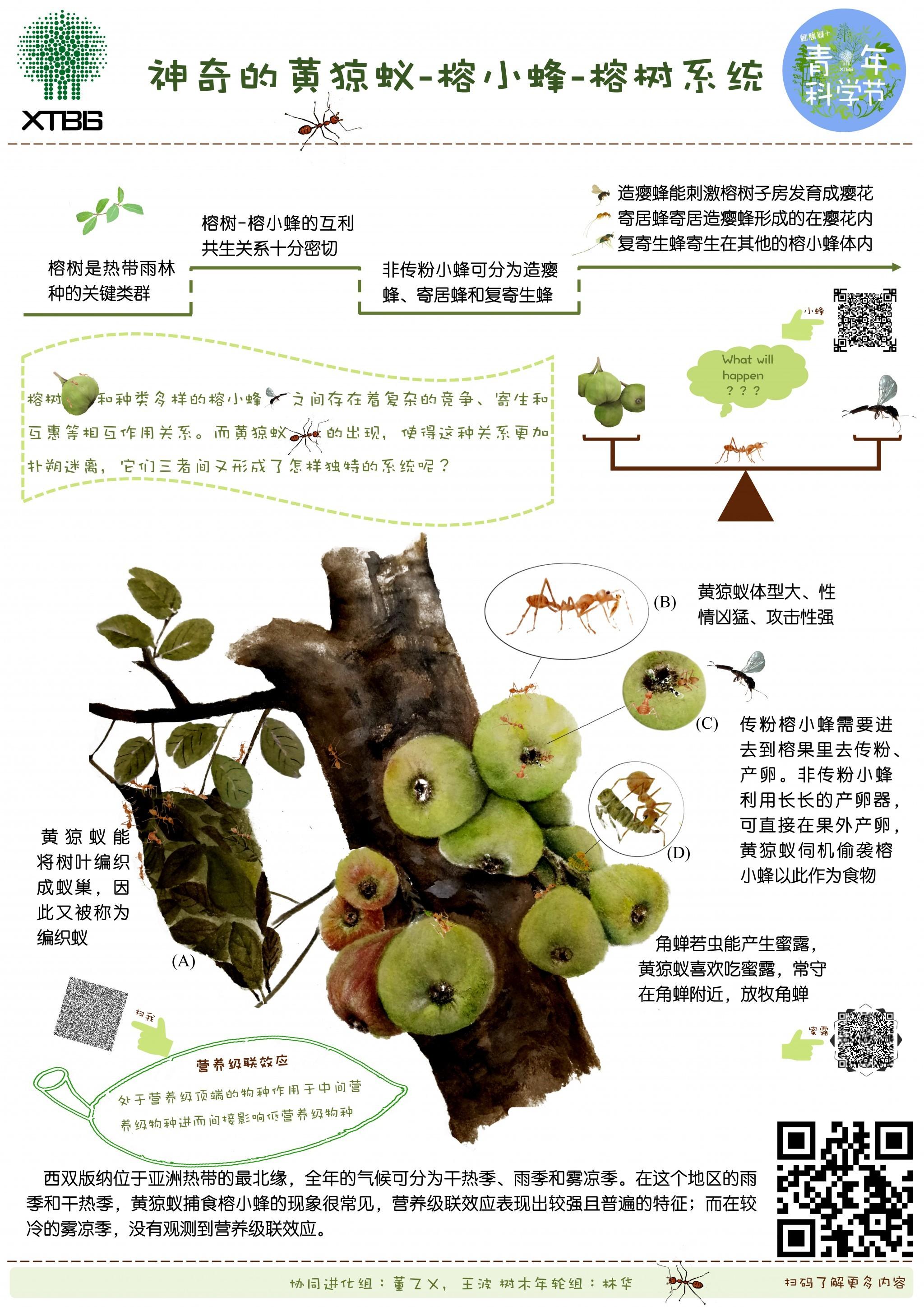 神奇的黄猄蚁-榕小蜂-榕树系统(作者:董乙乂)
