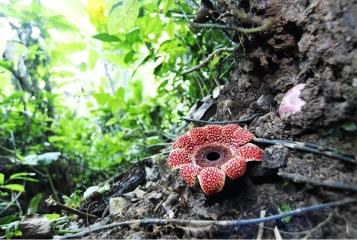 版纳植物园首次获得稀有植物寄生花的种子