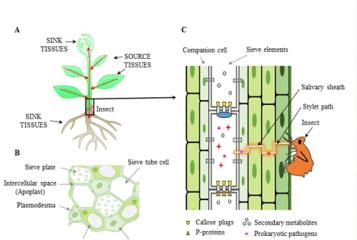 植物韧皮部-昆虫-病原菌相互作用的研究进展和挑战