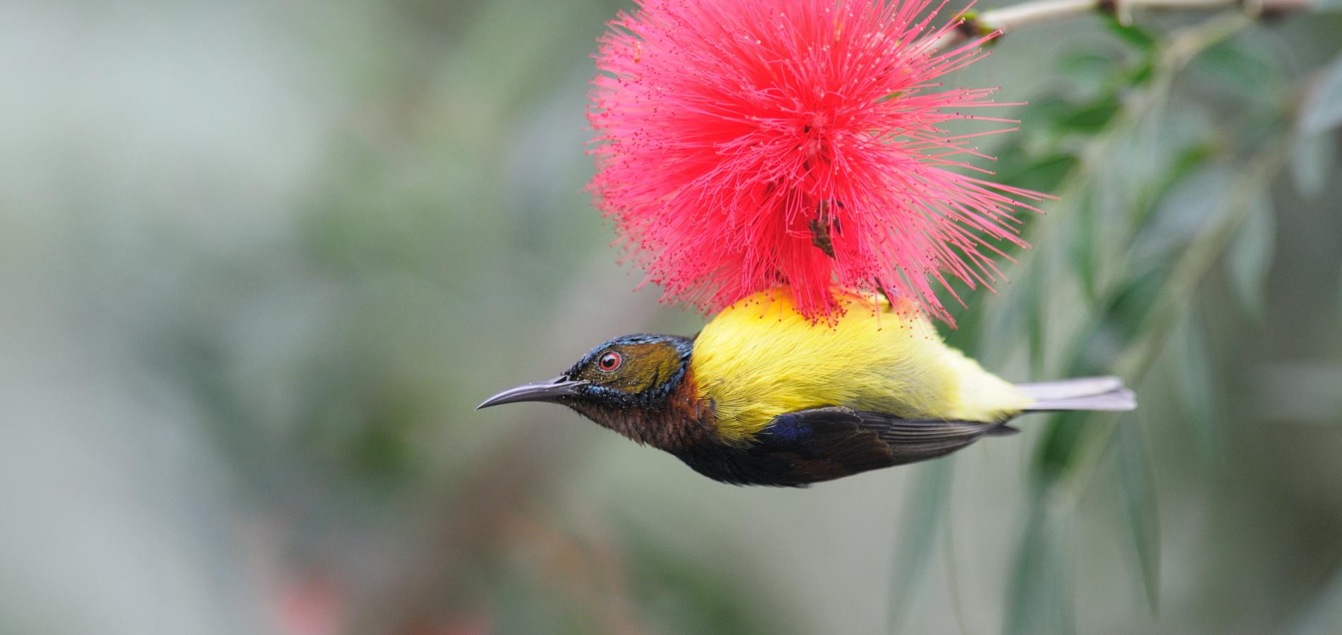 褐喉食蜜鸟