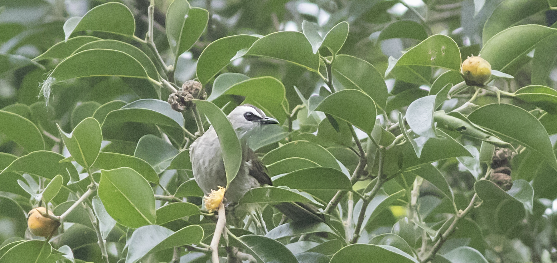 2019年中国鸟类新记录——白眉黄臀鹎  ©董江天