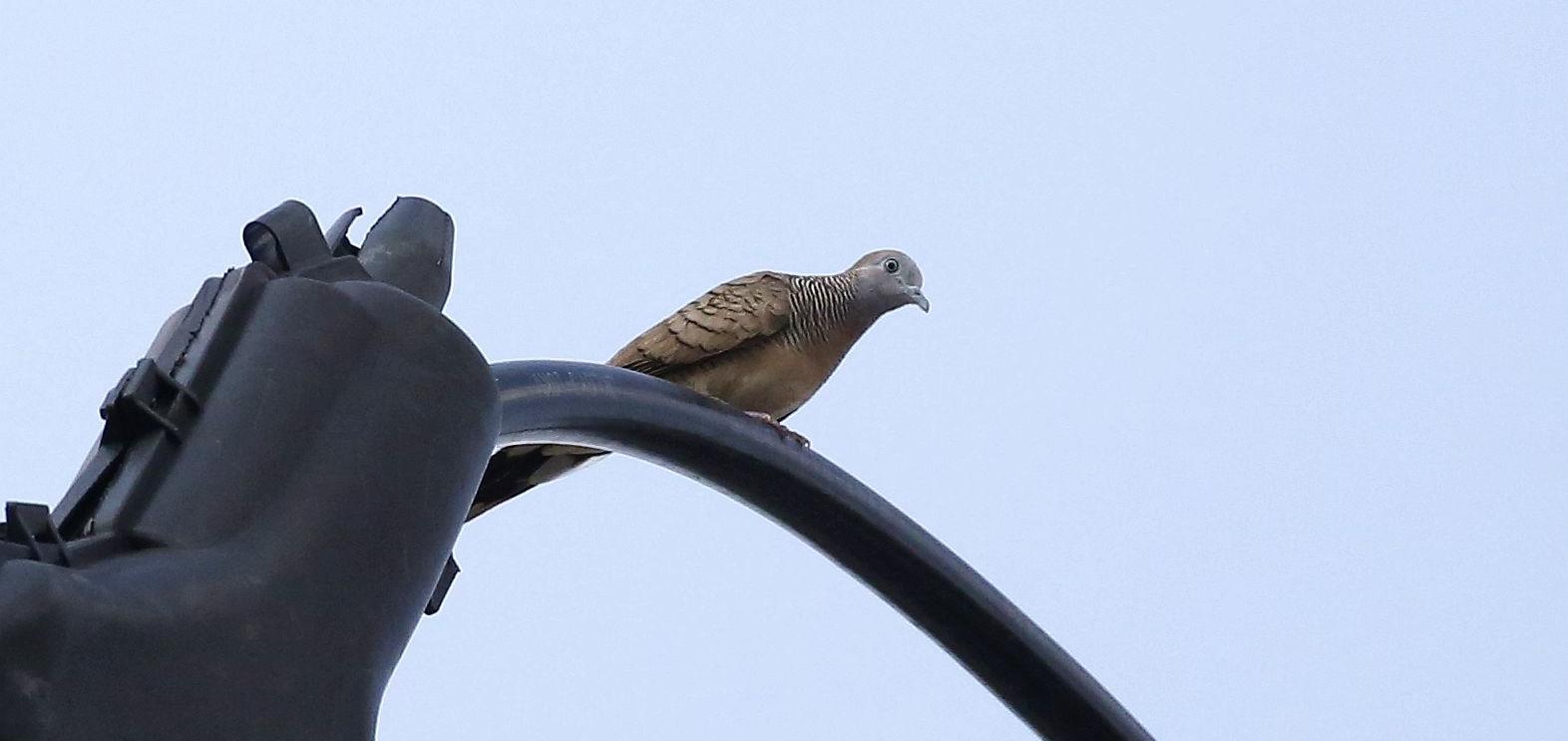 2021年中国鸟类新记录——斑姬地鸠   ©赵江波