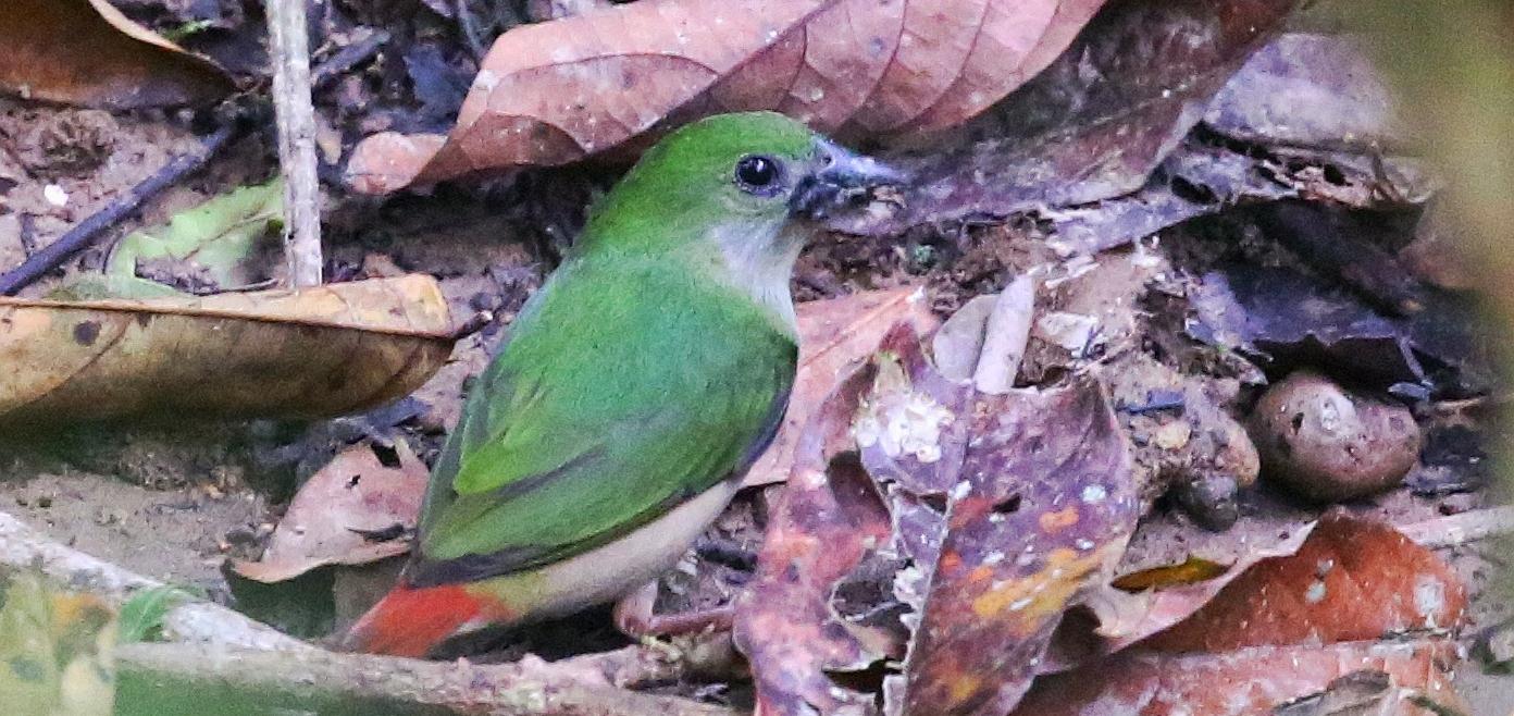 2014年中国鸟类新记录——长尾鹦雀  ©赵江波